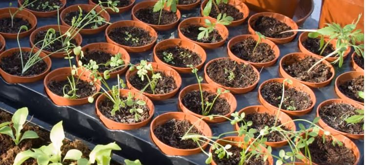 group of young seedlings growing in small pots sitting in a tray