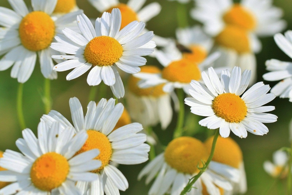 white daisy like flowers of the chamomile plant