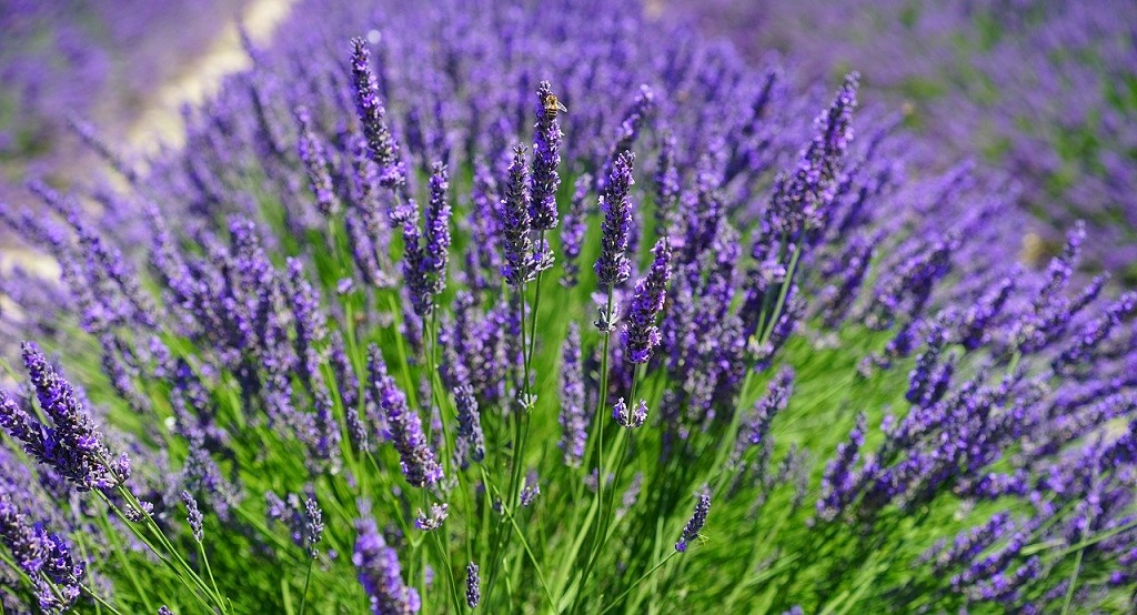 bright purple lavender growing in the field with bees