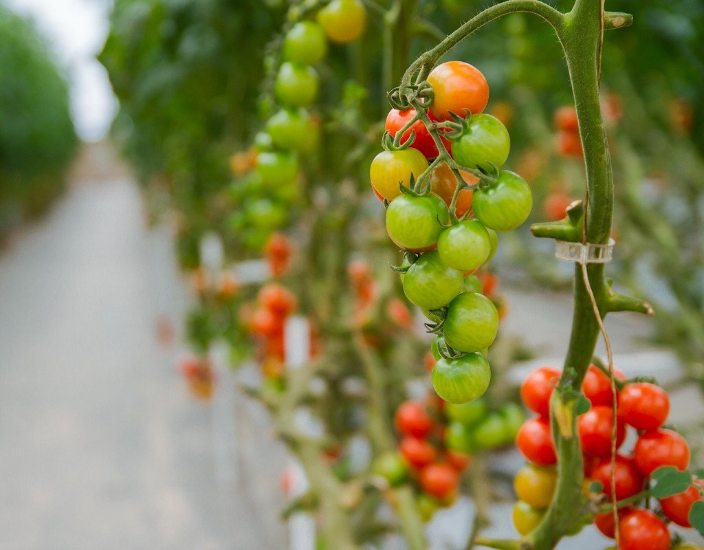 cherry tomatoes growing in a hydroponic sytems